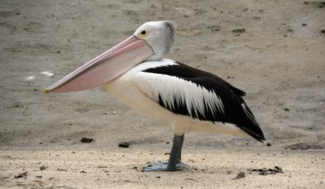 Pélican sur la plage de Cairns.